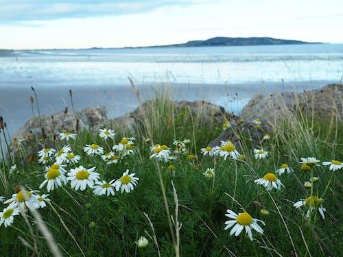 一束花, 克隆塔夫, 公牛岛, 在海邊 的 免费素材照片