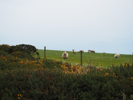 Sheep on Top of Grass