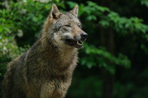 Brown Wolf in Tilt Shift Lens