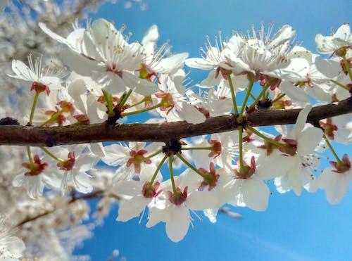 Gratis lagerfoto af blomst, blomstrende, gren, kirsebærblomster