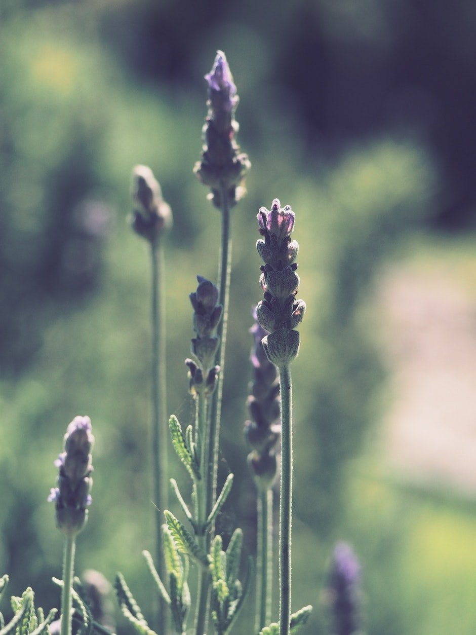 Tilt Shift Photography of Lavender