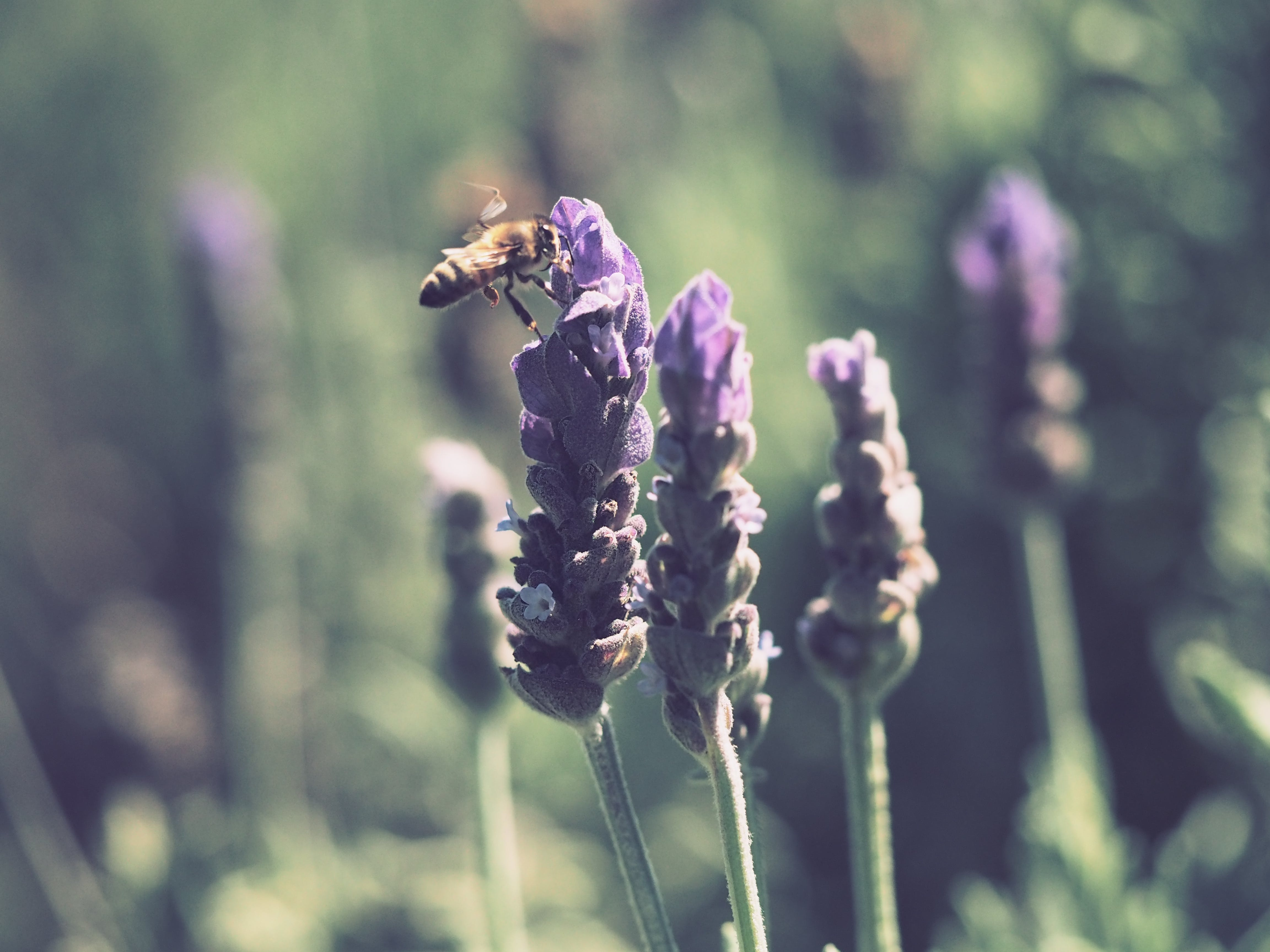 Yellow and Black Honey Bee on Purple Lavender Flower