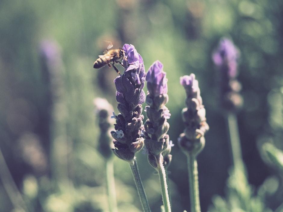 Yellow and Black Honey Bee on Purple Lavender Flower