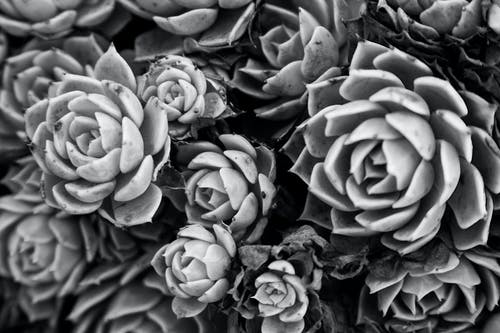 A Grayscale Photo of Succulent Plants