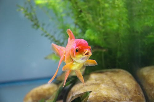 Red and Yellow Goldfish In A Tank