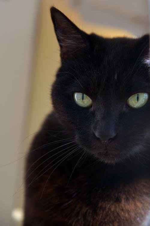 Free stock photo of black cat, cat, cat eyes