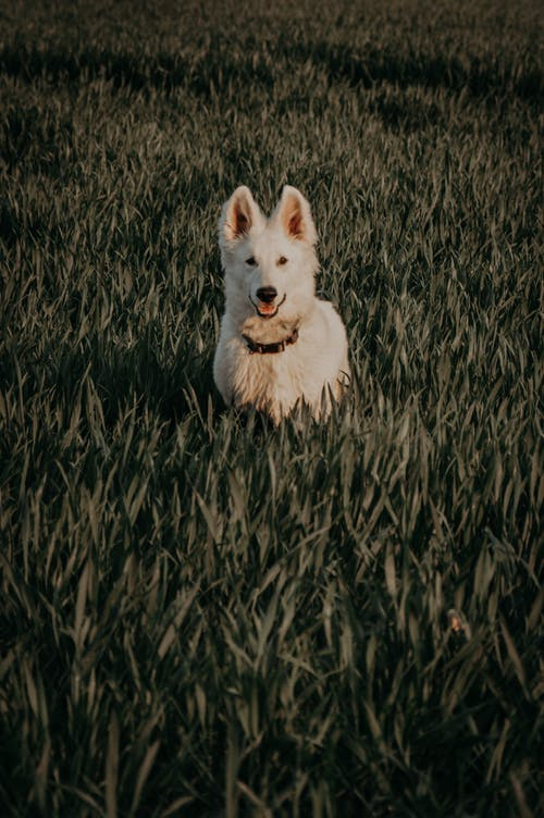 Cute white Swiss shepherd dog with black collar standing on grassy ground in nature on summer day in rural area