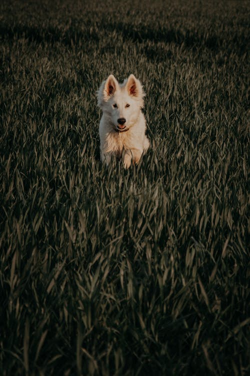 Adorable active white Swiss shepherd dog with collar running on meadow with green grass in nature on summer day in countryside