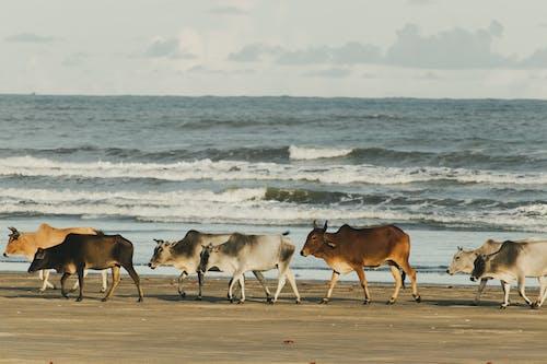 カーフ, ビーチ, ブルの無料の写真素材