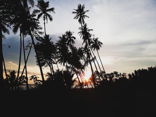 のどか, ココナッツの木, ダーク, トロピカルの無料の写真素材