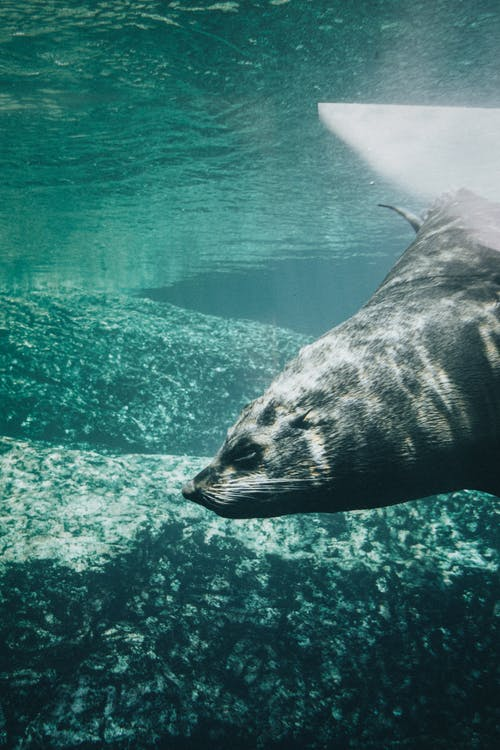 Close-Up Shot of a Seal Swimming Underwater