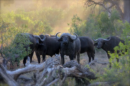 Herd of Black Water Buffaloes