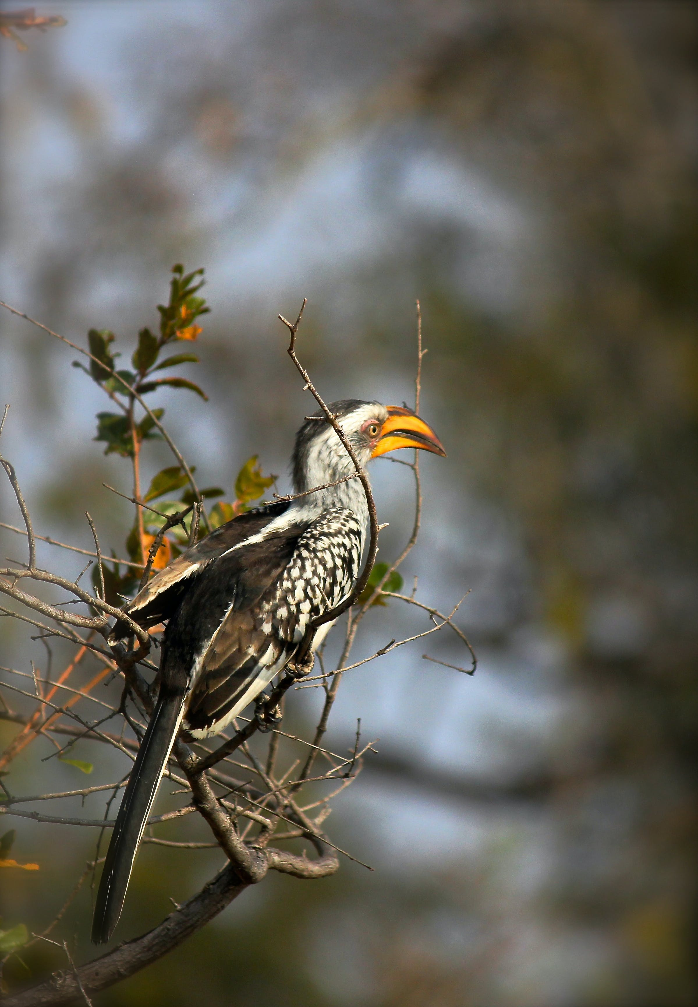 Free stock photo of Yellow Billed Hornbill