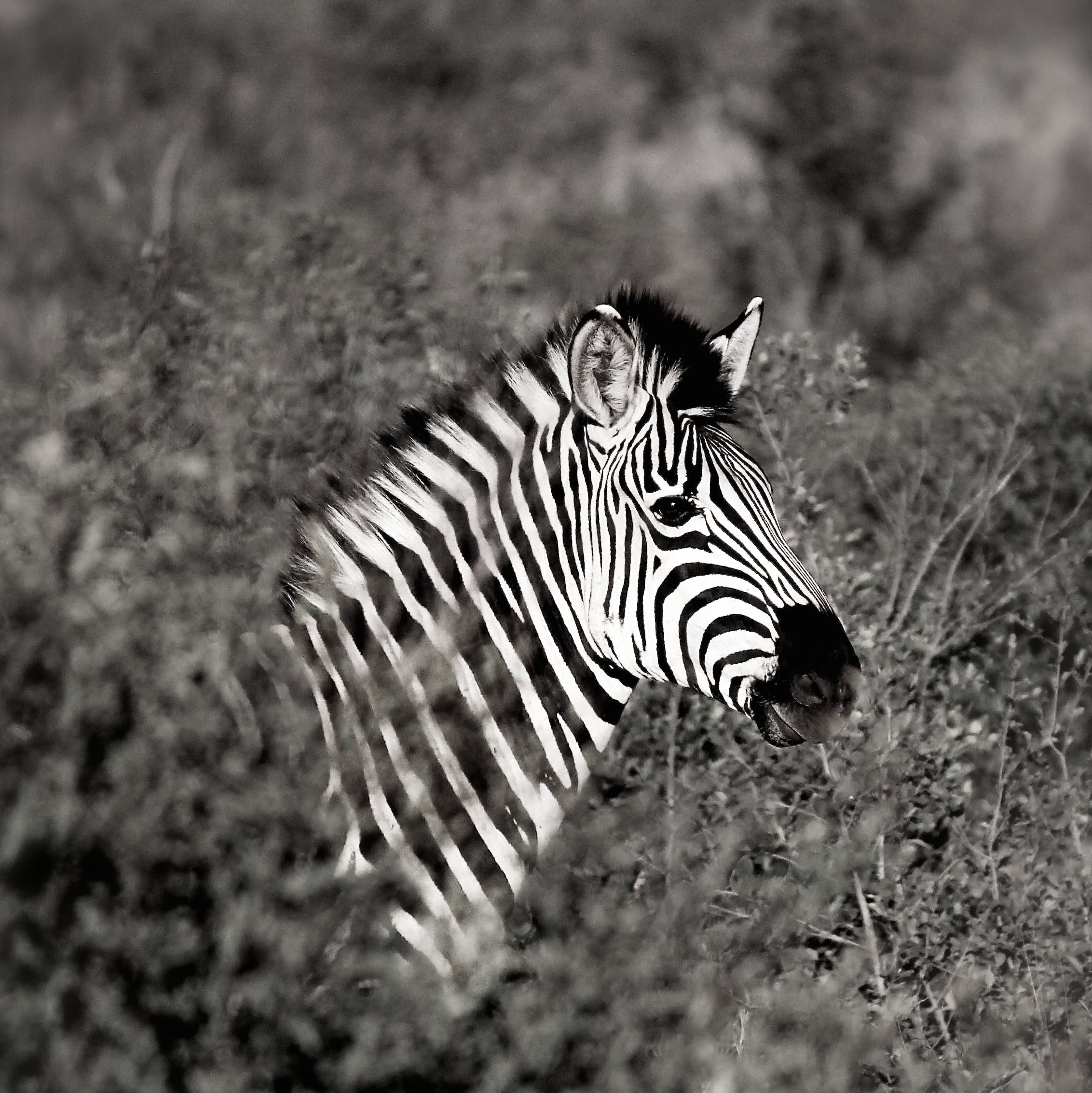 Monochrome Photography of Zebra