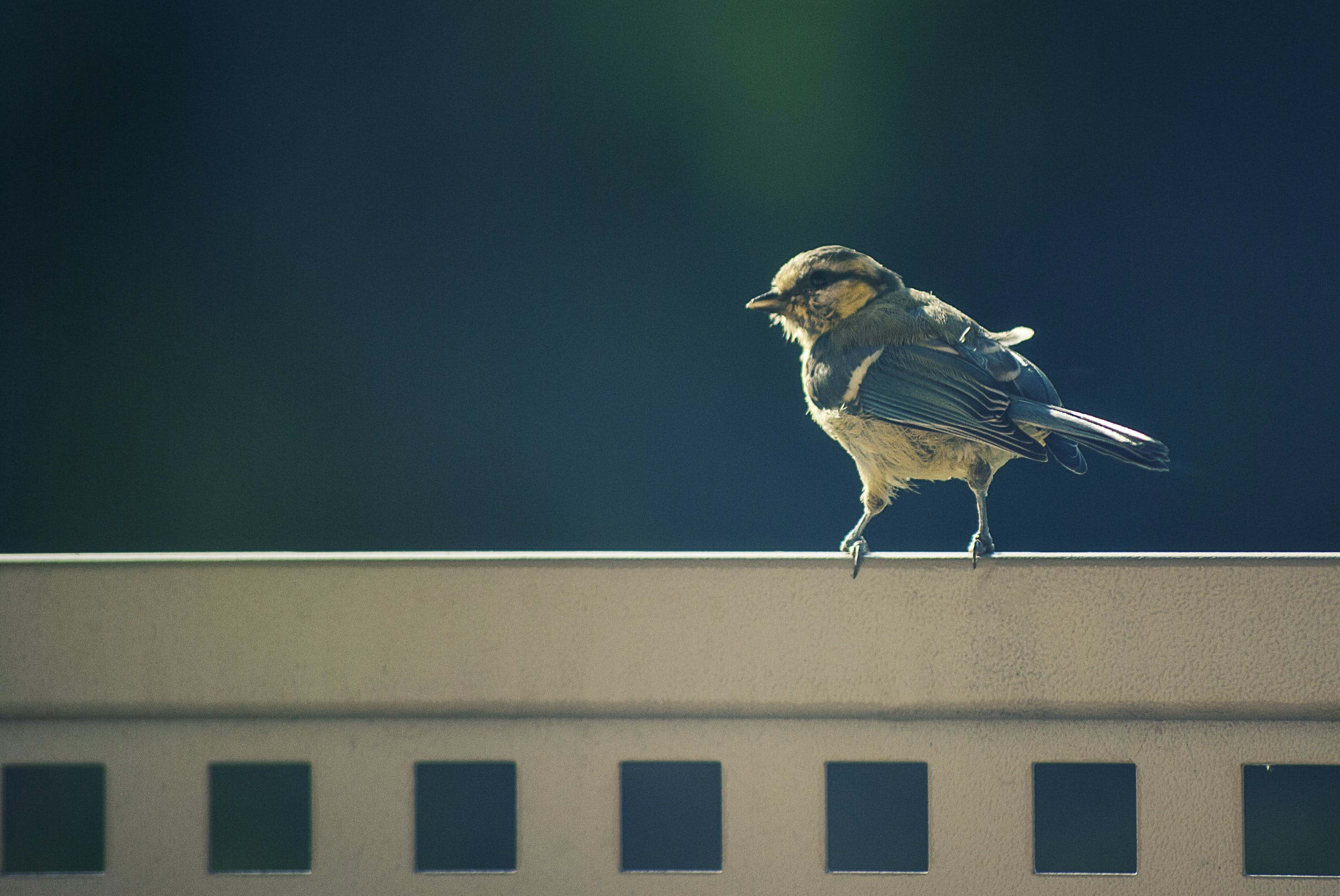 Free stock photo of nature, bird, animal, sparrow