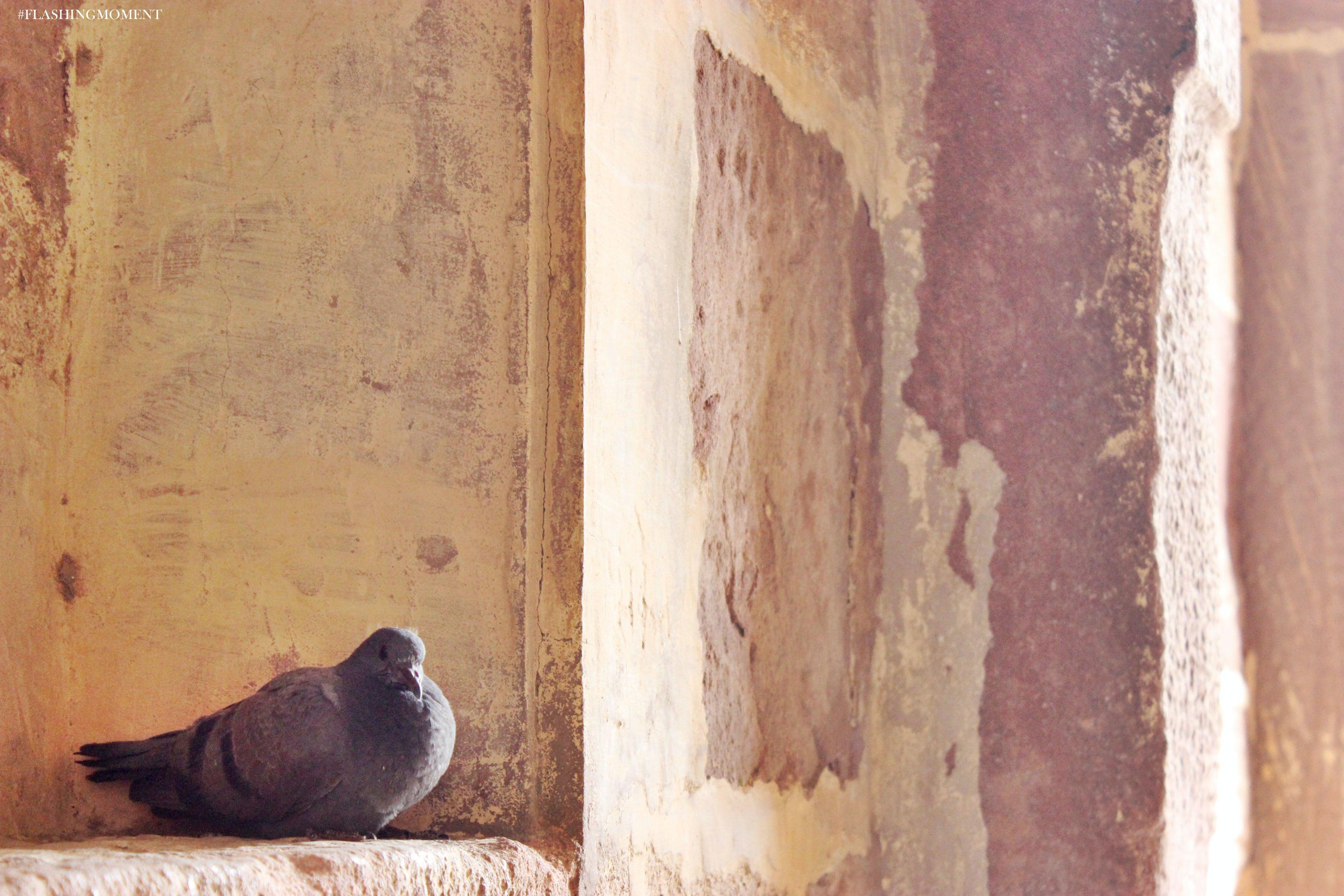 Free stock photo of india, love, pigeon