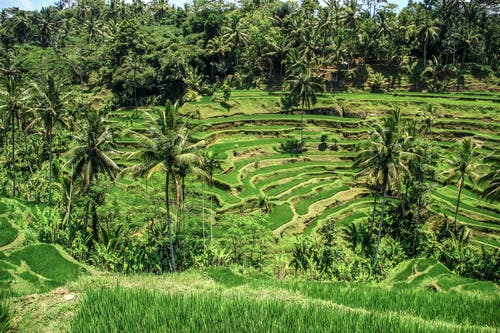 A Lush Agricultural Land with Rice Terraces