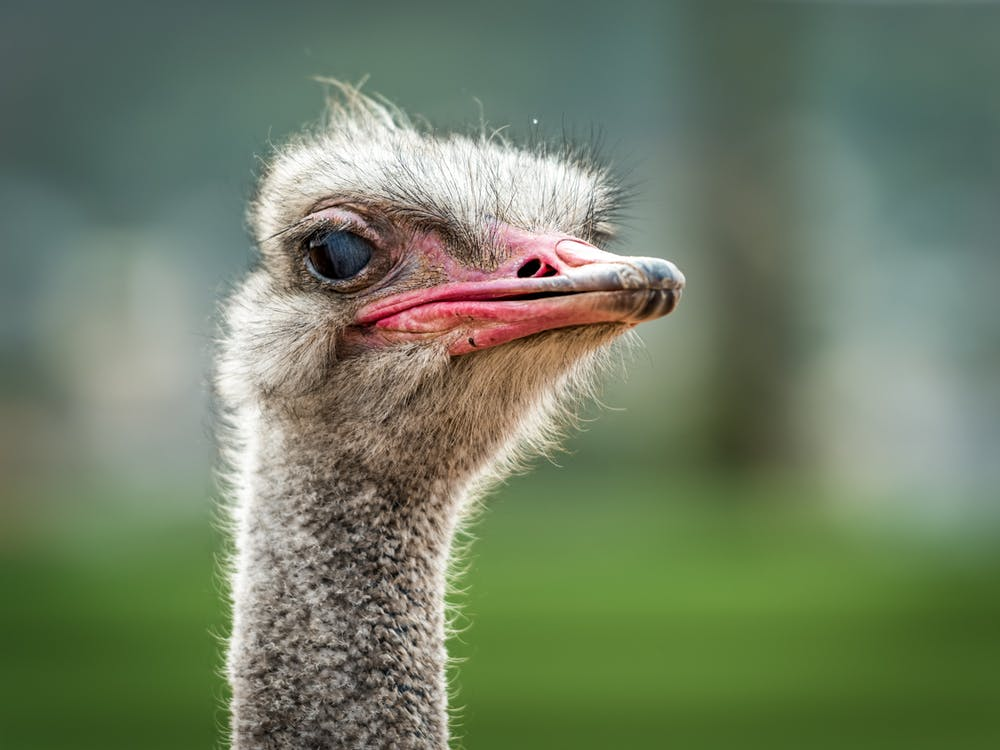 Close-up photo of an ostrich.   Photo: Pexels