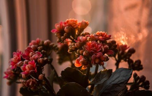 คลังภาพถ่ายฟรี ของ กลีบดอก, กำลังบาน, กุหลาบหิน, ความชัดลึก