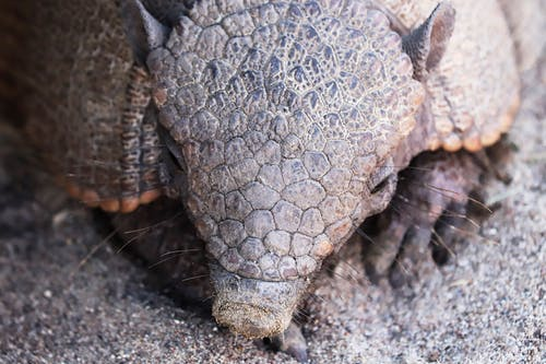 A Close Up of an Armadillo Head