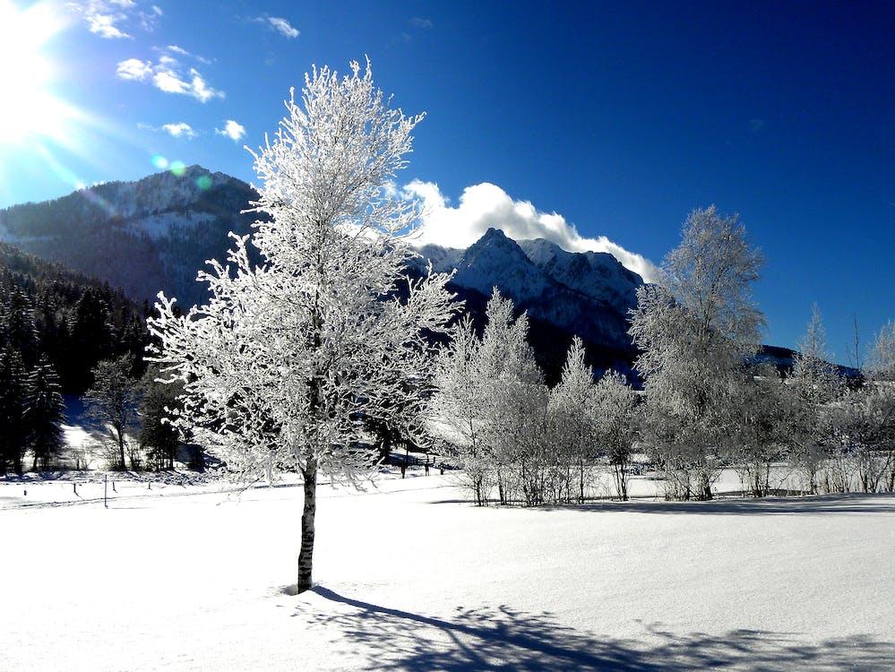 arbres, blanc com la neu, bosc