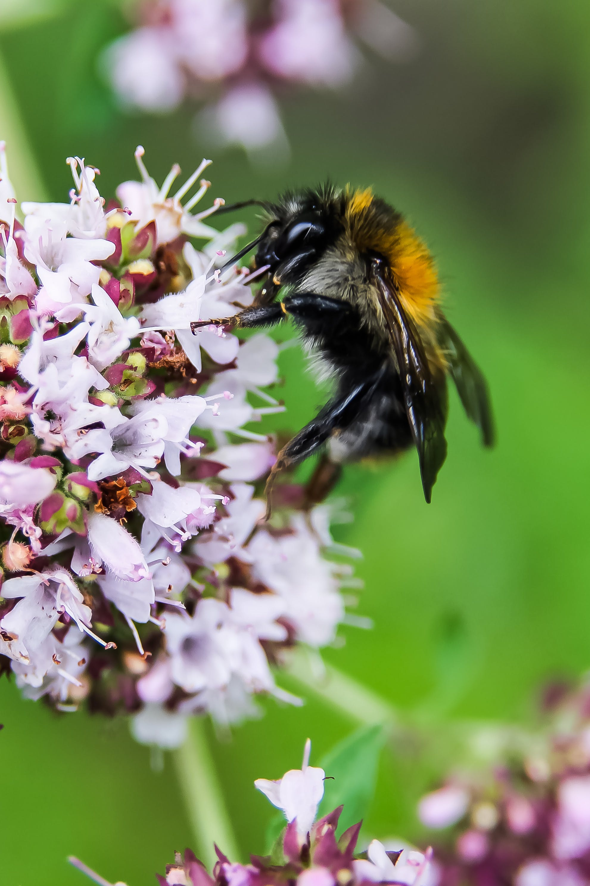 Closeup Photo of Bumble Bee on White Petaled Flowers
