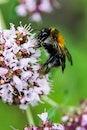 flower, bee, bumblebee