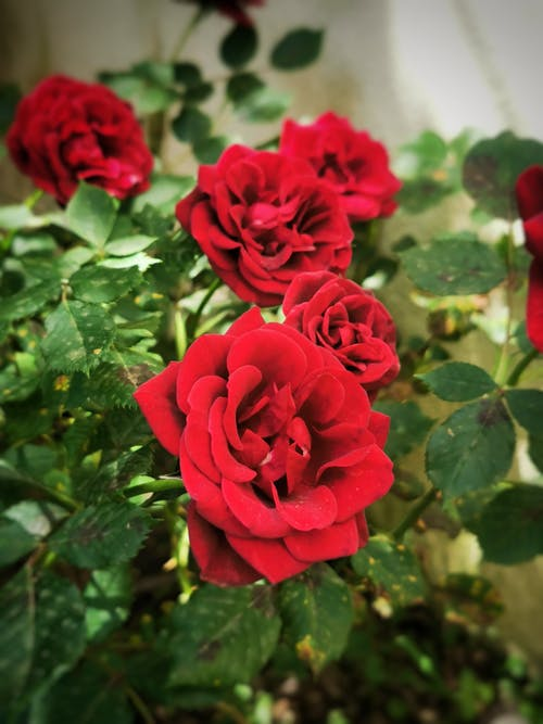 Free stock photo of beautiful nature, natural spring, red roses
