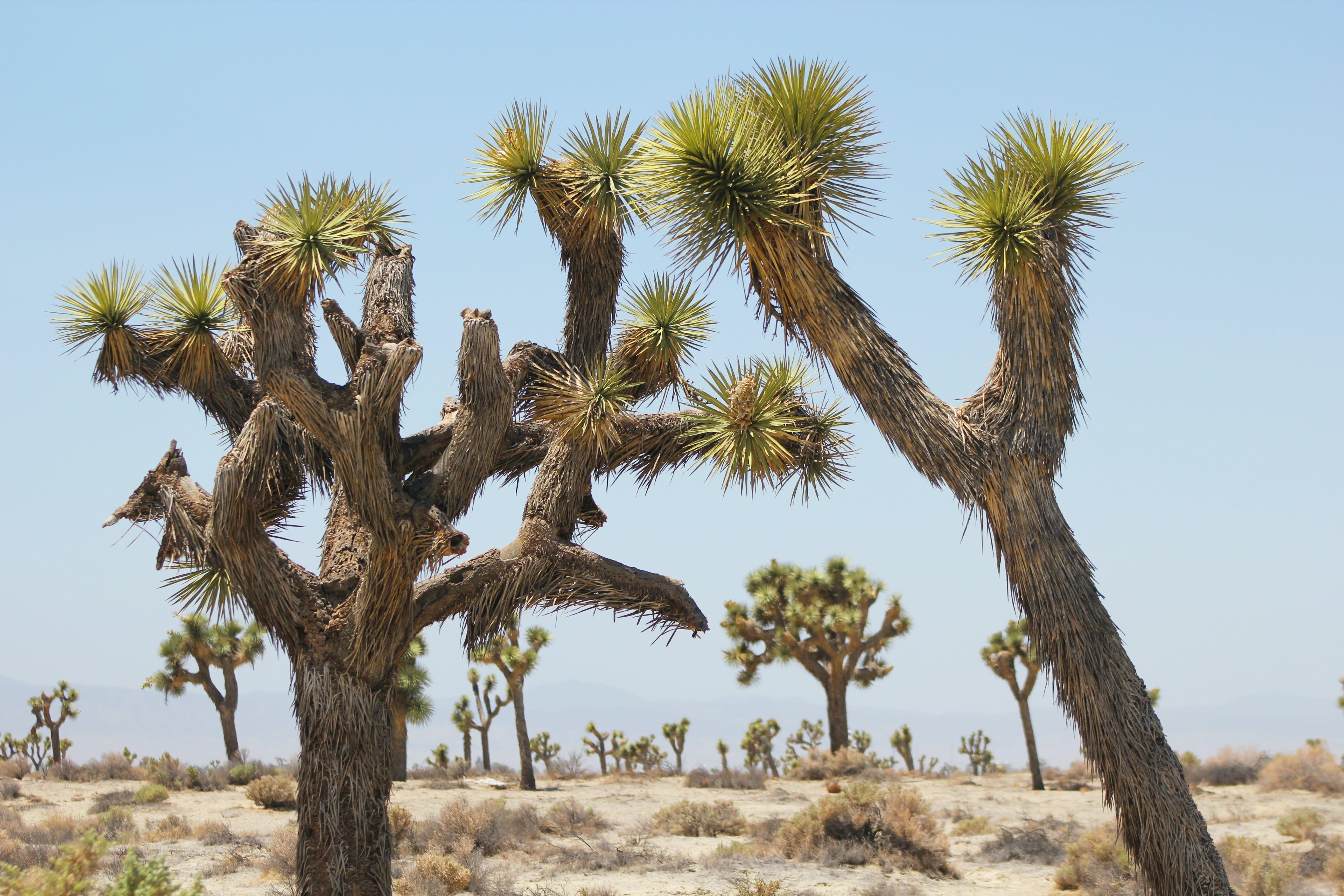 Free stock photo of joshua tree
