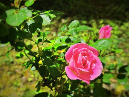Free stock photo of flower garden, garden roses, natural spring