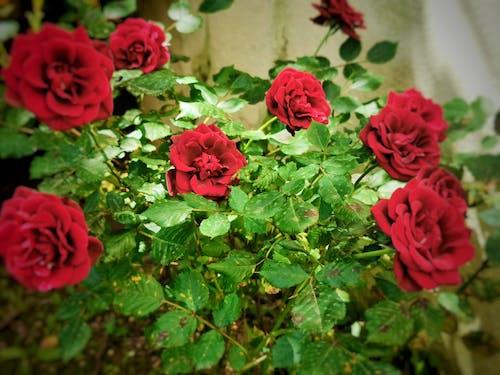Free stock photo of flower, garden, garden roses