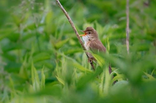 Fotos de stock gratuitas de aves, curruca de caña, naturaleza