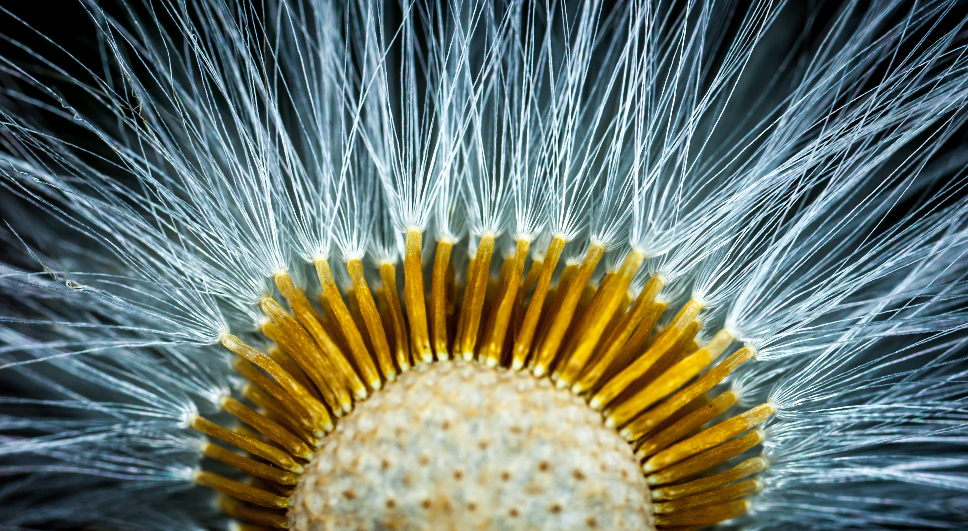 Close-up Photography of Dandelion Flower