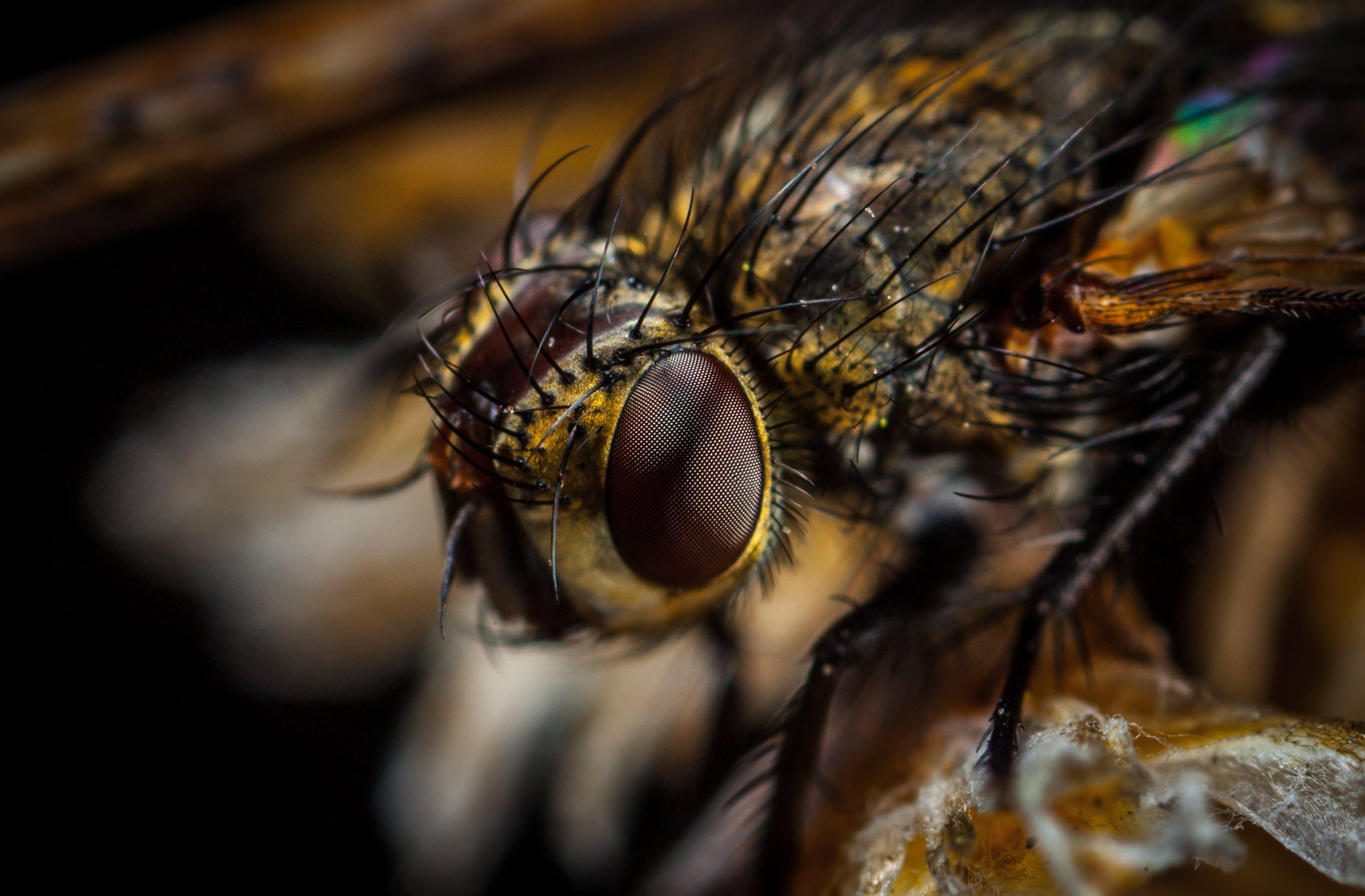 Macro Photography of Brown Bottlefly