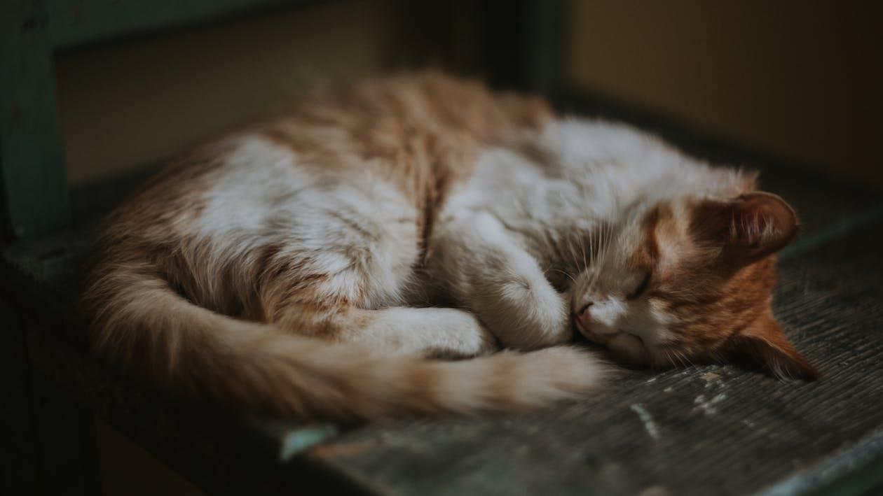 domácí, domácí mazlíček, kočičí obličej