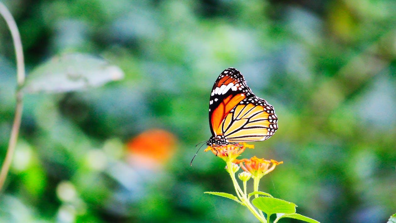 kostenloses foto zum thema monarchfalter der