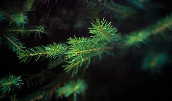 Free stock photo of pine, needles