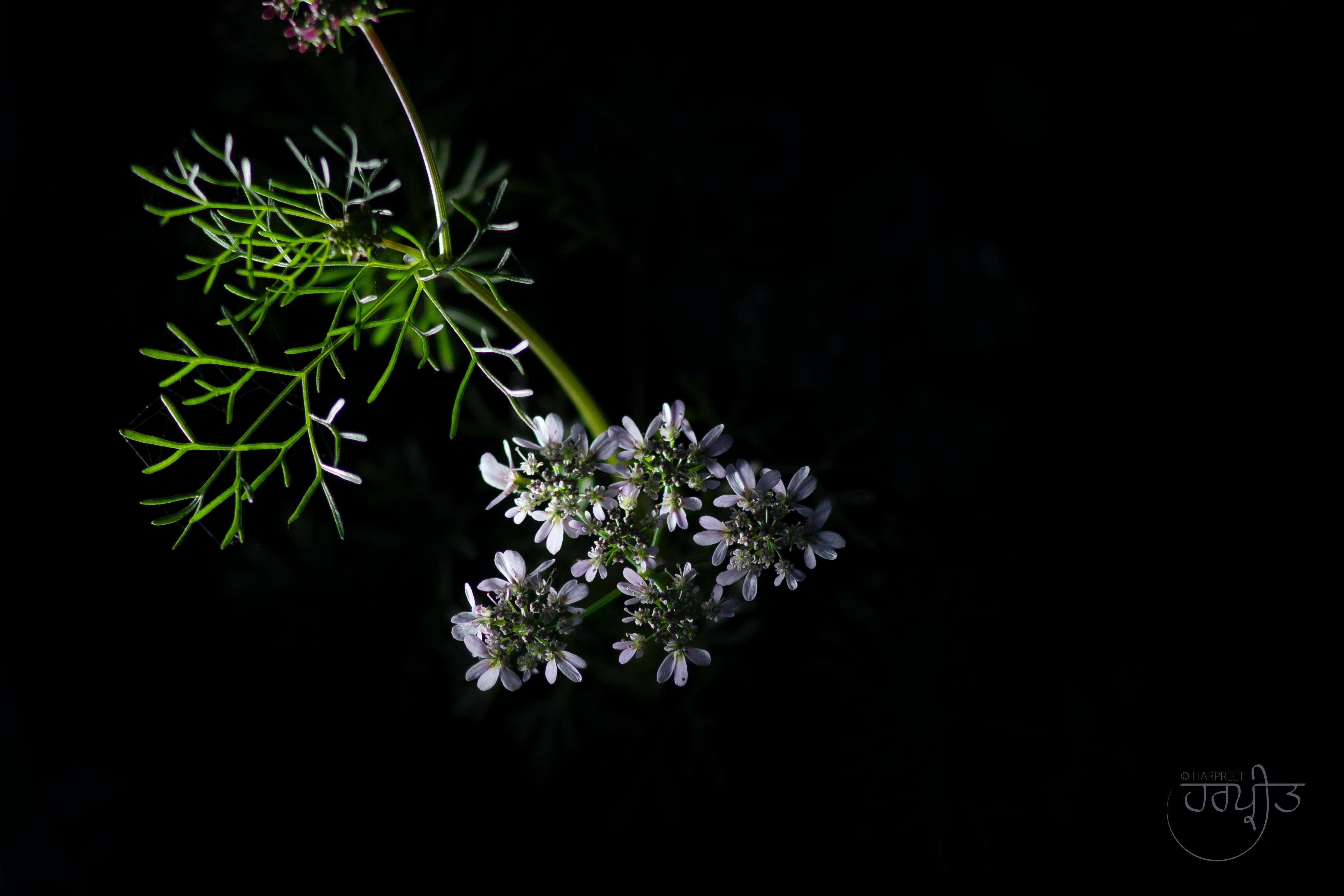Menakjubkan 16 Gambar Bunga Latar Belakang Hitam Gambar Bunga HD
