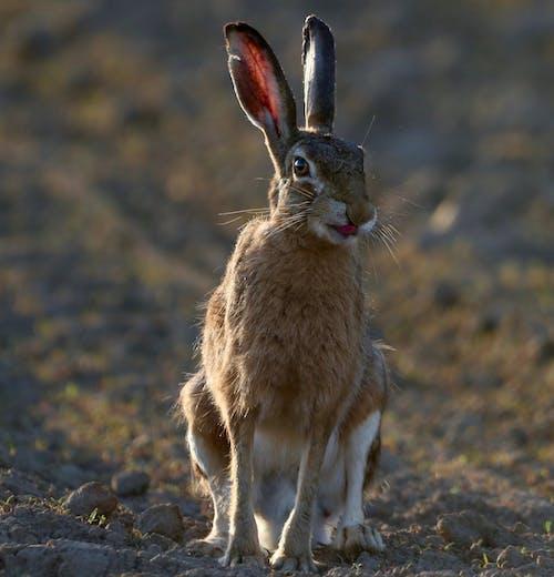 Brown Rabbit on Brown Soil