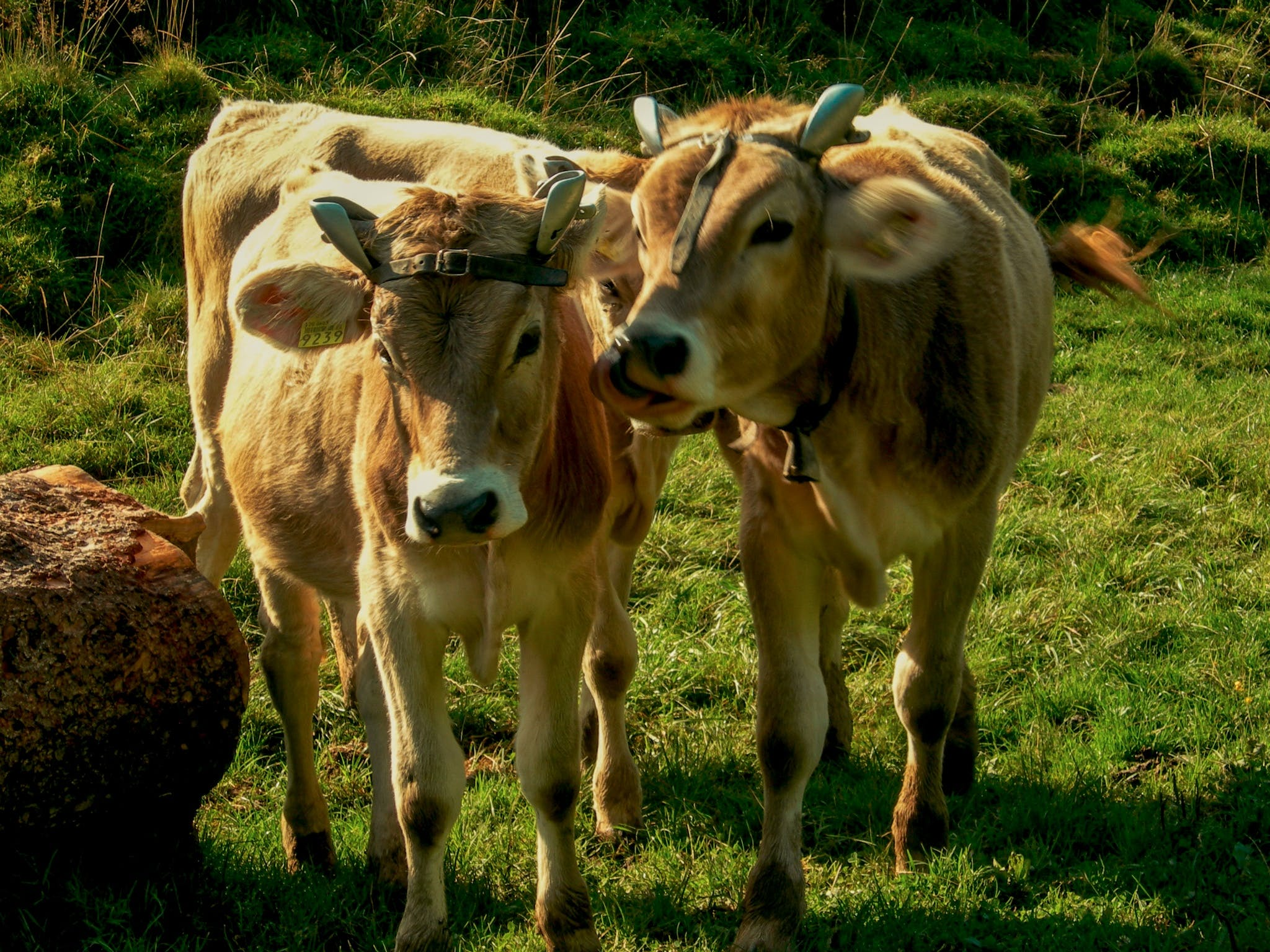 Free stock photo of cows