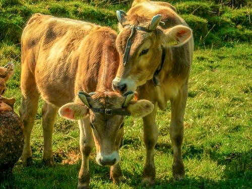 奶牛 的 免费素材照片