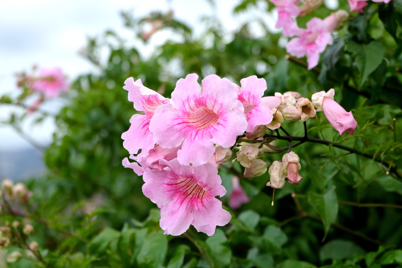 Kostenloses Stock Foto zu natur, blumen, pink, blühen