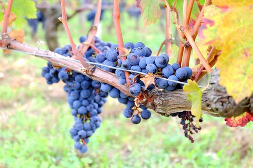 Free stock photo of grape, grapevine, producer, red grape
