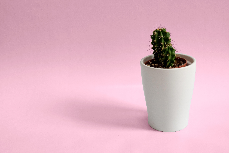 Cactus Plant In White Pot