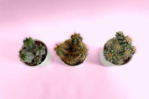 Free stock photo of blush, cacti, cactus, green