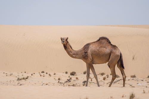 Free stock photo of adventure, anima, arabian camel