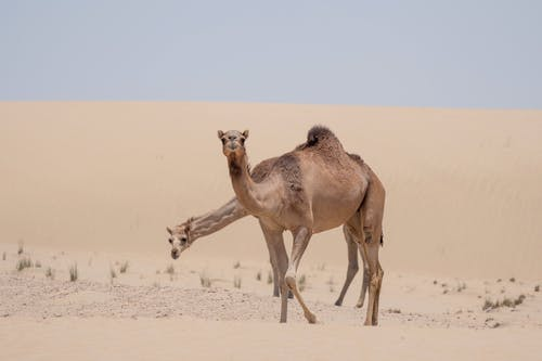 Free stock photo of anima, animal, arabian camel
