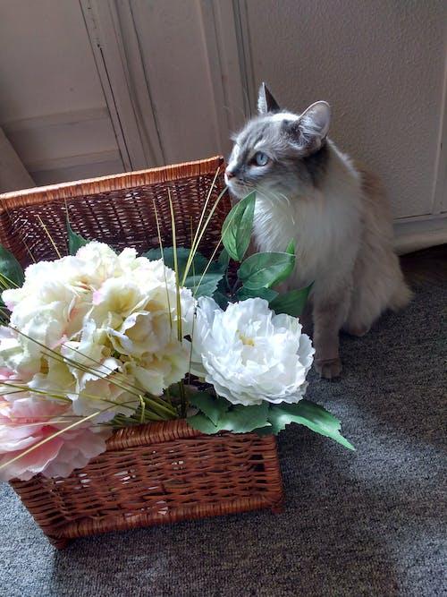 Free stock photo of blue eyes, cat, Gandalf, gato