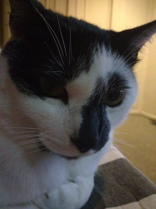 Free stock photo of black and white cat, cat, enano, gato