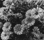 black-and-white, art, flowers